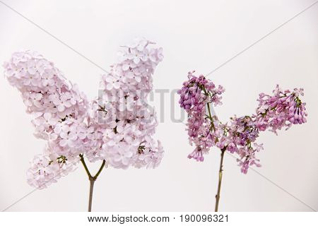 Aging concept. Fresh lilac branch vs faded dry wilted lilac branch