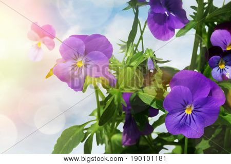 Blue colored pansy flowers against a light background