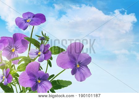 Purple violet flowers against a blue sky
