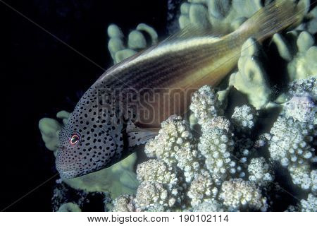 A Black-sided Hawkfish, (Paracirrhites forsteri) sits motionless on a coral reef at the Kwajalein Atoll in the Pacific