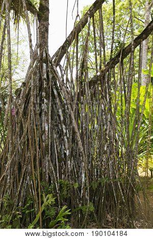 Root Pandanus panach tree in tropical garden Martinique