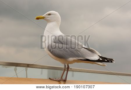 Herring Gull viewed from side. Standing on railing.