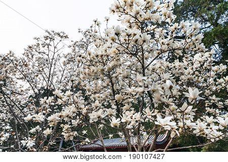 White Blossom On Magnolia Trees In Beijing
