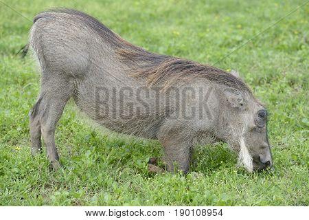 Common Warthog, Addo Elephant National Park