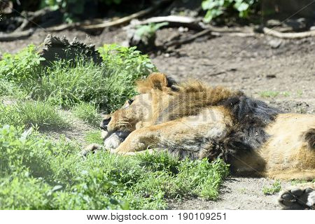 a beautiful Lion is sleeping in the grass