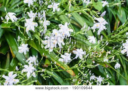 White Flowers Of Asiatic Lily In Spring Rain
