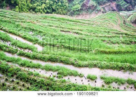 Above View Of Rice Beds On Terraced Field