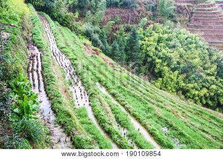Above View Of Rice Beds On Terraced Slope