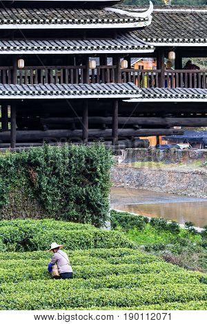 Picker On Tea Plantation And Chengyang Bridge