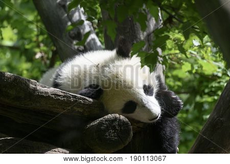 a young and beautiful Panda on a Tree