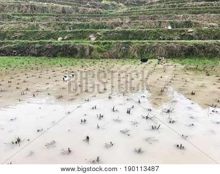 Ducks In Water On Rice Paddy Field In Of Dazhai