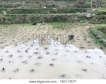 Ducks In Water On Rice Field In Of Dazhai