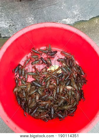 Many Live Crawfishes In Plastic Basin