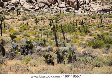 The arid desert ecosystem within Joshua tree national park in Joshua Tree California on a sunny day.