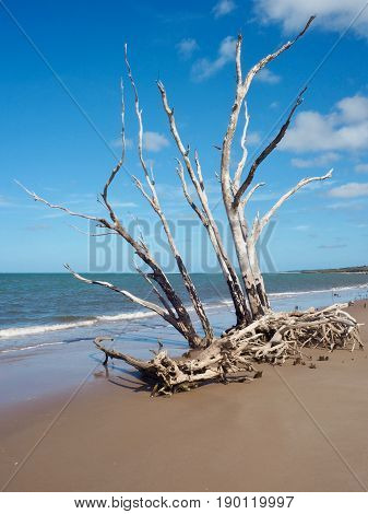 Dead tree on beach, ravaged by hurricane.