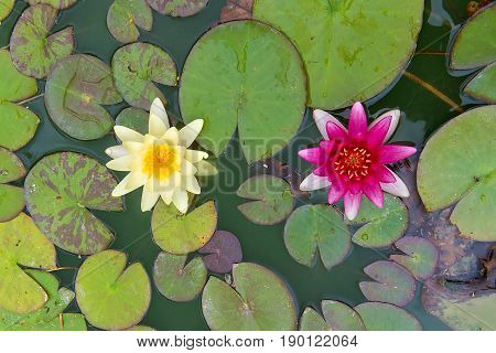 top view of two yellow and pink nymphaea lily pad flowers