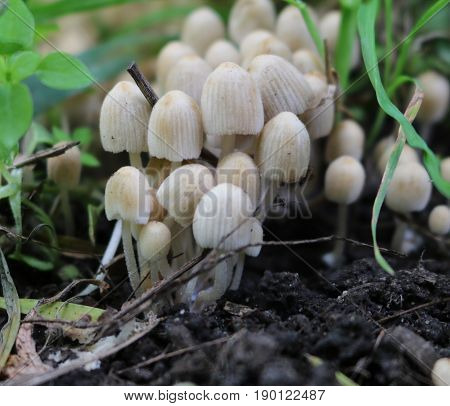 Colony of small non-edible mushrooms in the grass