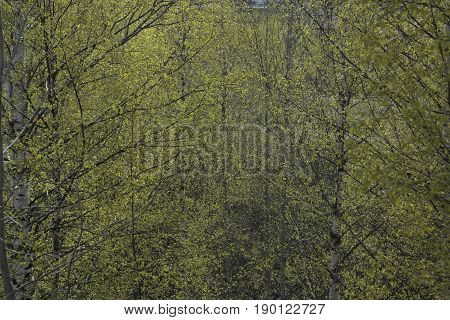 Bright green spring leaves on birch branches windy weather
