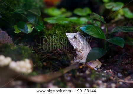close up on Solomon Island Leaf Frog ceratobatrachus guentheri