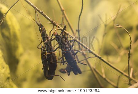 Close Up On Peruvian Black Stick Insect Peruphasma Schultei