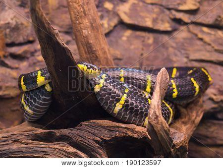 Close Up On Mongorova Snake On Tree