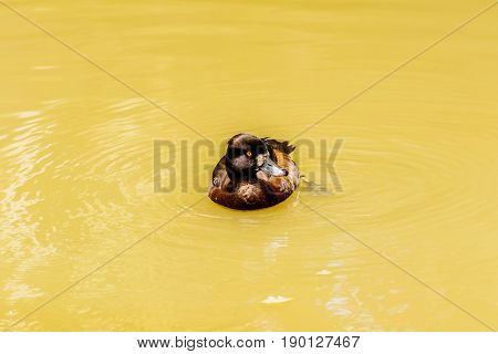 Fulvous whistling duck (Dendrocygna bicolor) in the pond.