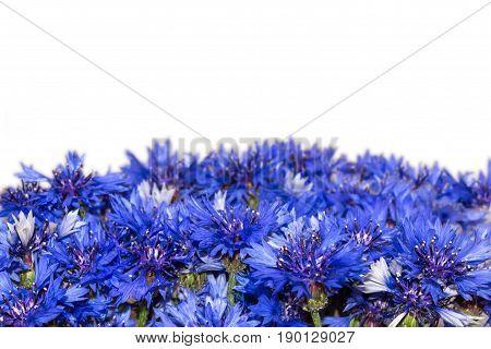Flowering cornflowers. Border of blue flowers. Knapweeds isolated