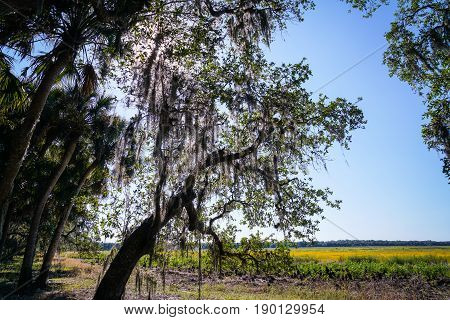 The sun makes the Spanish Moss in this tree glow almost as bright as the yellow wildflowers in the field beyond.