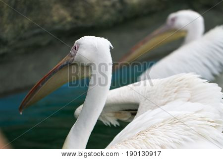 White pelicans (Pelecanus onocrotalus), also known as the rosy pelican.