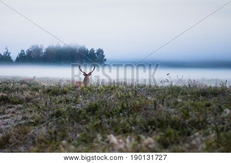 Red deer on the field early in a foggy morning during the rut. Belarus Naliboki forest