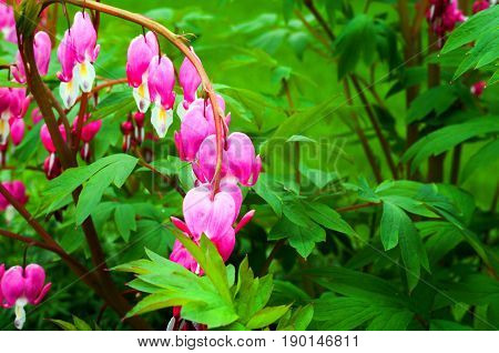 Bleeding Hearts one strand blooming in the spring
