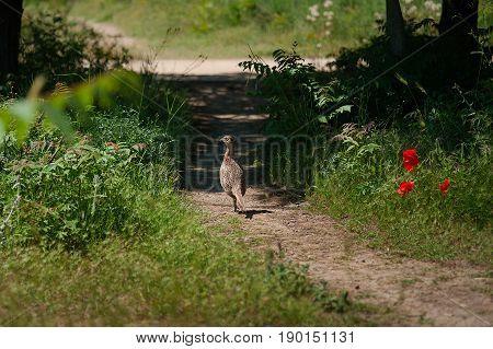 Hume's pheasant, Mrs Hume's pheasant, Bar-tailed pheasant