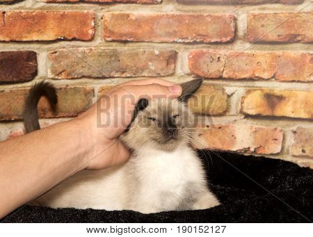 Young male hand petting a content siamese kitten kitten laying in a black fuzzy bed with brick wall background eyes closed as it enjoys being petted.