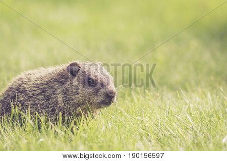 Adorable baby groundhog (Marmota Monax) at side with room for text