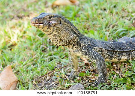 Varanus Salvator Eating Frog