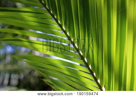 Close up green coconut leaves shallow depth of field