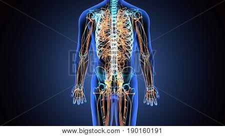 3D illustration male nervous system medical concept.