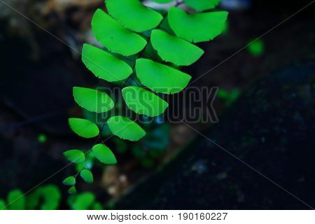 Adiantum, maidenhair fern, black stem fern in natural environment on a black rock.