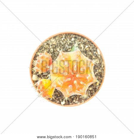 Closeup fresh yellow cactus in brown plastic pot for decorate isolated on white background in top view
