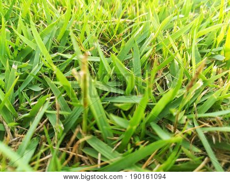 Green grass background. Cluster of green grass on the ground