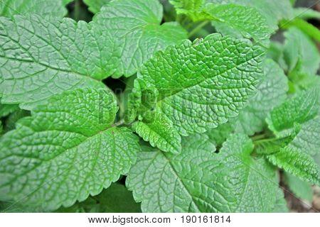 Green Lemon balm leaves - close up
