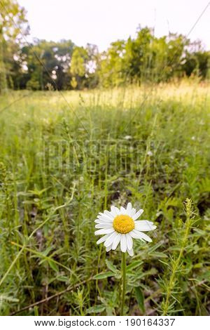 Chamomile Flower In The Meadow