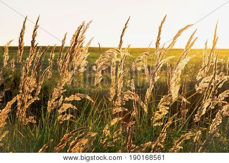 Wheat meadow at a sunset wiith beautiful light through spica. Outdoor countryside meadow grass nature. Background photography of grass field, natural landscape