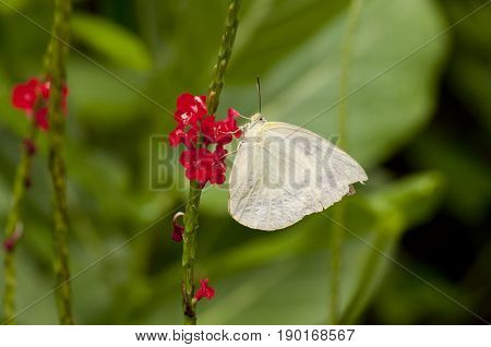 Female Lemon Emigrant (Form-crocale) butterfly is feeding on red snakeweed (Stachtarpheta indica) plant