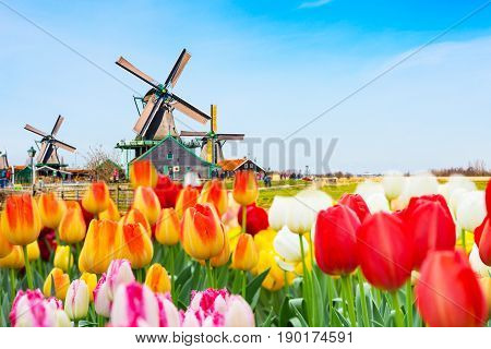 Holland background panorama with tulips and green windmill in traditional village
