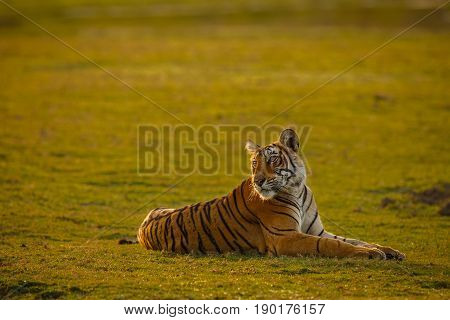 Tiger In A Beautiful Golden Light