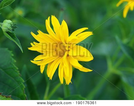 Marigold yellow flower petals at the base of dark-yellow at the edges light-yellow. Closeup photo.