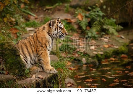 Young tiger female in a beautiful place in india/wild animal in the nature habitat/India/big cats/endangered animals/close up with tigress