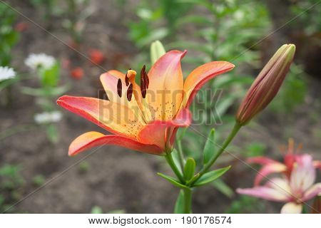 Closeup orange pink Lily flowers in a garden Macro shot Pistil and stamen and bud