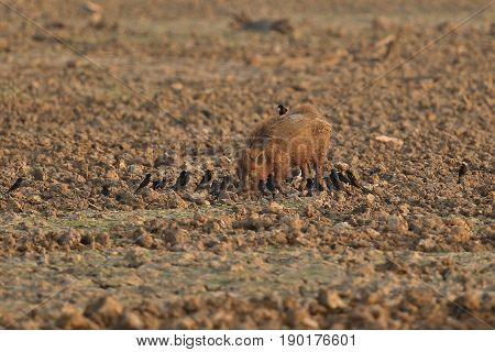 Indian wild boar with a lot of birds around/indian wildlife in the nature habitat/nice colony of birds
